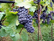 http://upload.wikimedia.org/wikipedia/commons/thumb/2/2a/Vineyard_in_Montone.jpg/180px-Vineyard_in_Montone.jpg